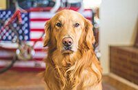 Golden Retriever with American flag in the background